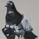 Julius Neubronner - Patented a miniature pigeon camera activated by a timing mechanism, 1903  © Julius Neubronner
