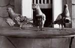 Julius Neubronner - Pigeon Cameras  © Julius Neubronner