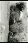 Name Helena Sikk  Title Koala  Film used Ilford delta 100, MGIV FB  Location Australia