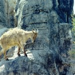 Neal Thorley - Sure Footed Mountain Goat - Kodak Portra 160NC - Australia
