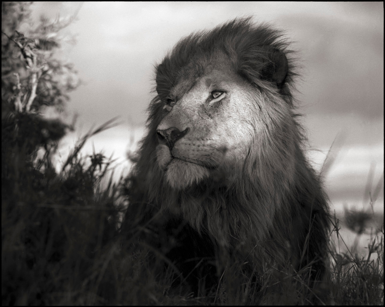 Nick Brandt - Lion in Shaft of Light ©  Nick Brandt