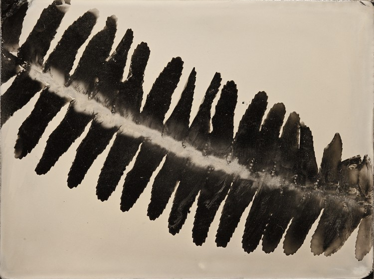 Wet Plate Photograms - Anton Orlov Leaf_Fern_QP_Ambrotype-750x560 Technique
