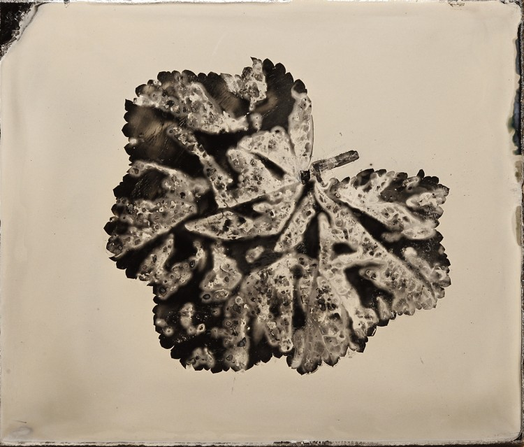 Wet Plate Photograms - Anton Orlov Leaf_Rounded_6th_Ambrotype-750x639 Technique